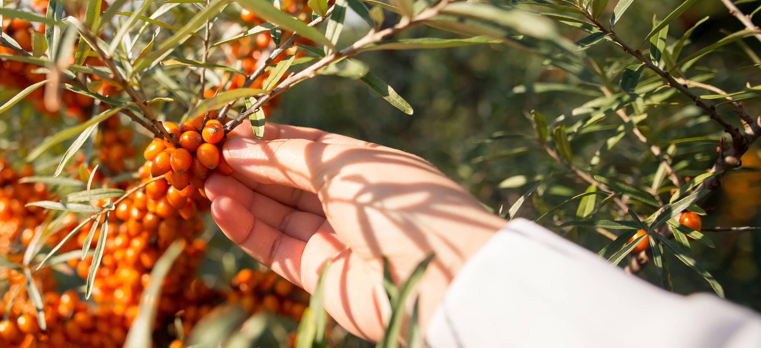 Sanddorn Früchte